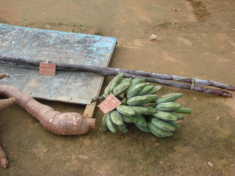 Post 19 4 bananas, sugarcane, and manioc Fetraomby May 2016