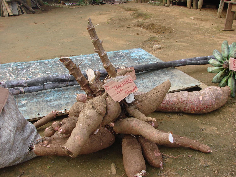 Post 19 6 manioc Fetroamby Mai 2016